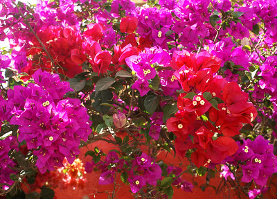 Crimson and Magenta Bougainvillea