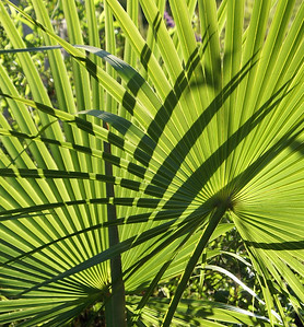 Fan Palms and Shadows - 1