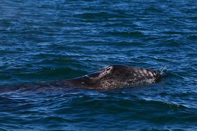 Gray whales, San Ignacio Lagoon, Baja Peninsula, Mexico.  Calf