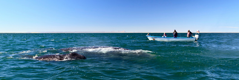 Gray whales, San Ignacio Lagoon, Baja California Sur, Mexico