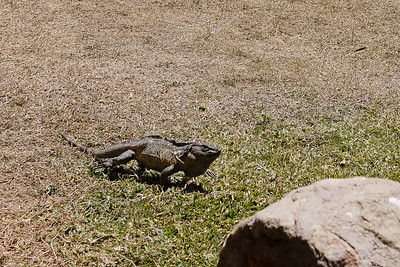 A huge iguana runs across the polo field in San Pancho, Mexico.