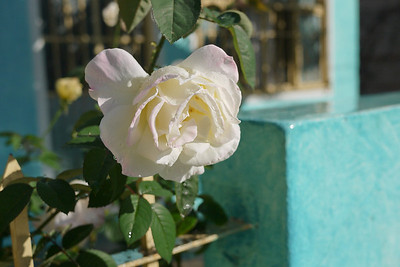 A garden rose in San Pancho, Mexico.