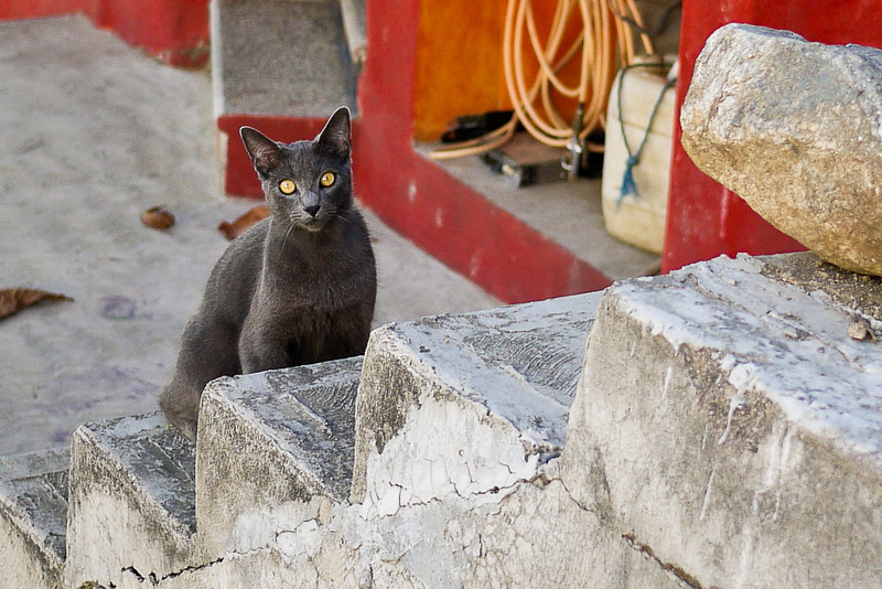 A pretty grey-eyed cat is suspicious of my intentions as I wander the streets of San Pancho, Mexico.