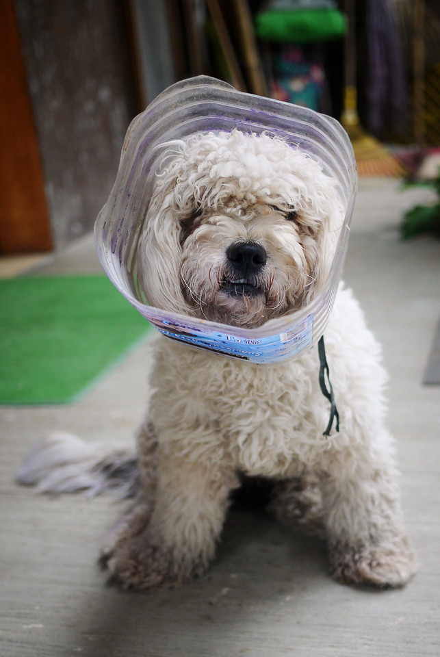 The perito in my family compound had to wear the cone of shame in San Pancho, Mexico.