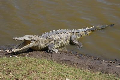 Mature American crocodile