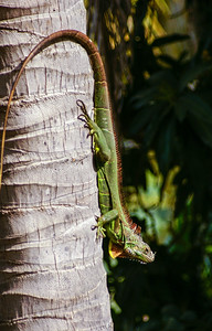 Green Iguana Going Down a Coconut Tree