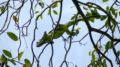 Green Iguana Navigates Up High in a Tree