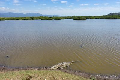 American Crocodile in Lagoon behind San Blas