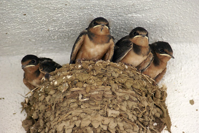 Four Barn Swallow Babies in Nest