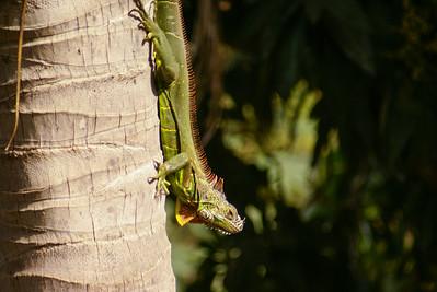Green Iguana Descending a Coconut Tree Trunk