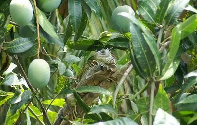 Green Iguana in a Mango Tree - 1