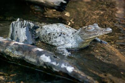 Young American Crocodile