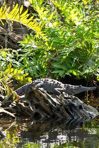 Young Crocodile on Rock, San Blas, Nayarit