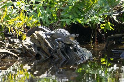 Young American Crocodile (Crocodylus acutus) in San Blas Mangroves