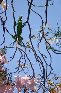 Green Iguana Seeking Sunlight in Tree with Pink Blossoms