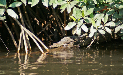 Young Crocodile by Mangrove Tree Roots, San Blas
