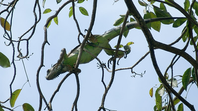 Green Iguana Clambers across Tree Branches