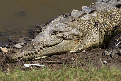 American Crocodile Resting at Lagoon Edge and Plastic Spoon