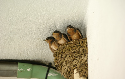Baby Barn Swallows in Nest Built on Electrical Junction Box