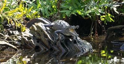 Young Crocodile (Crocodylus acutus) in Mangroves of San Blas