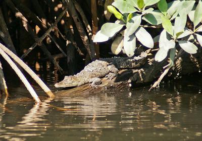 Young Crocodile Sunning Itself, San Blas Mangroves