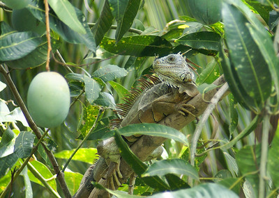 Green Iguana in a Mango Tree - 2