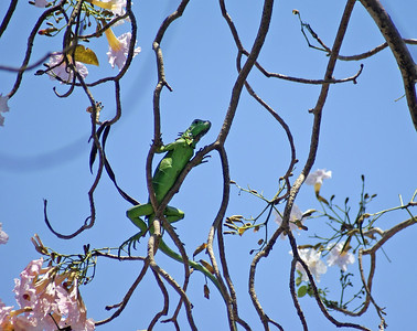 Green Iguana amongst Pink Blossom in Tree