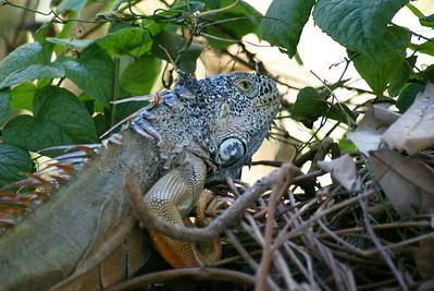 Green Iguana, Bucerias, Mexico