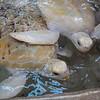 Beautiful Albino Turtles