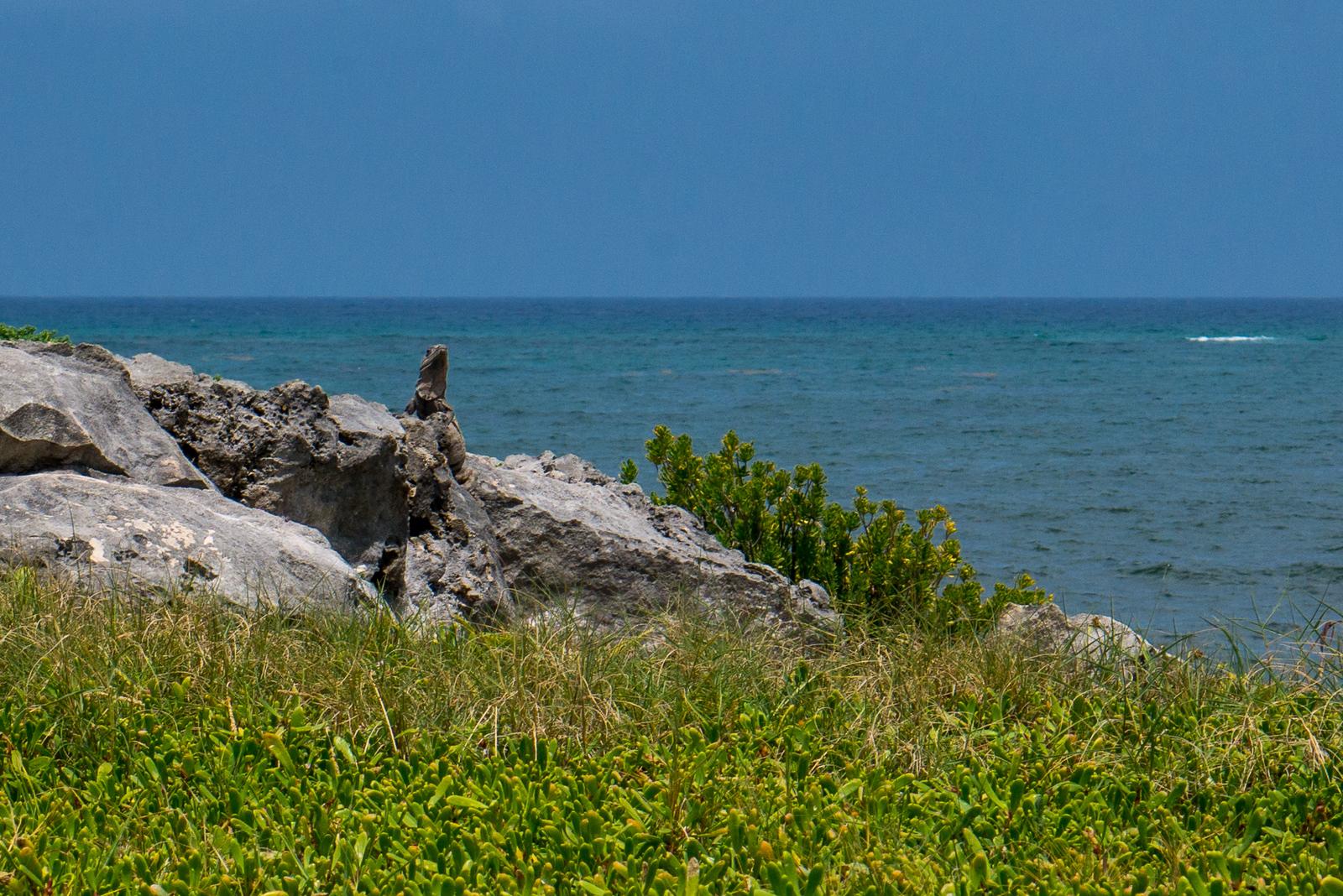 iguana at tulum