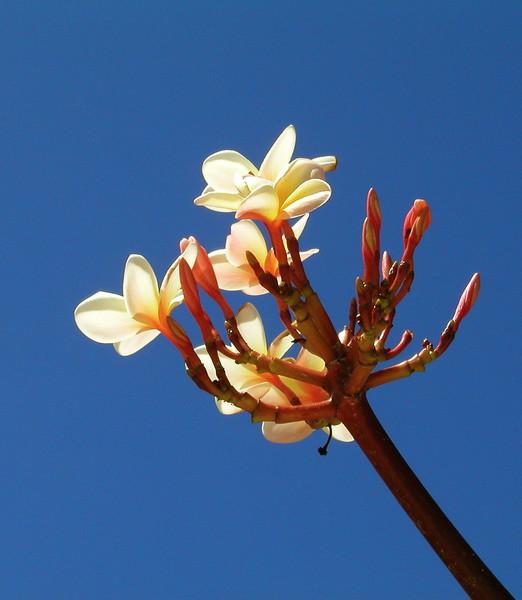 Plumeria Flowering