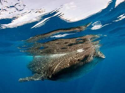 WhaleShark**JILL9369
