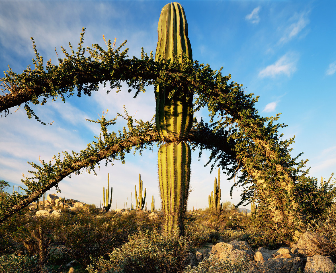 Baja California, Mex., MEX/Desierto Central. Cardon cactus (Pachycereus pringlei) amid bowed over Boojum (Fouquieria columnaris) 395h8