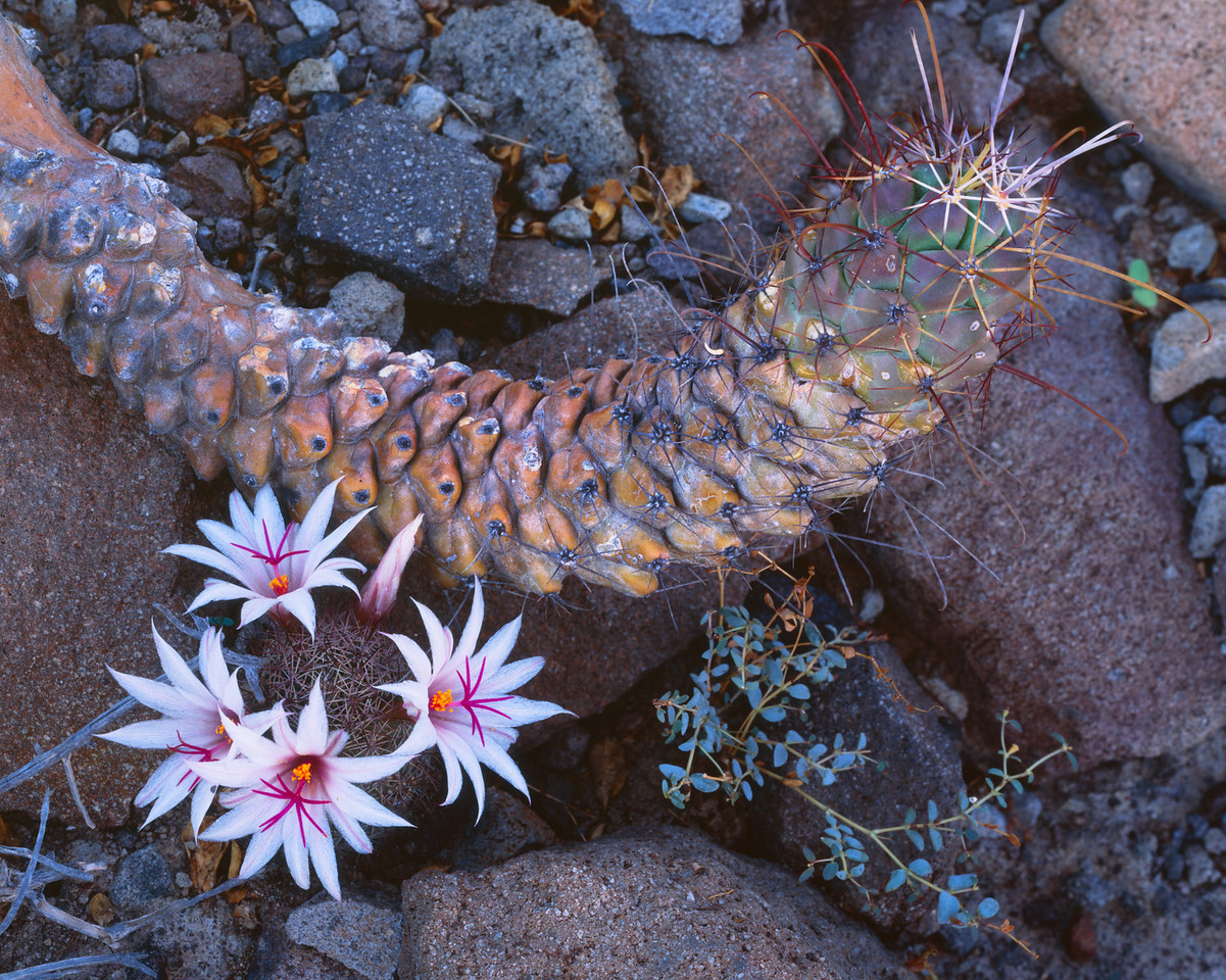 Baja California Sur, Mexico / La Paz, Estero Balandra. Flowering Mammillaria cactus in the volcanic rocky hillsides surrounding the bay. 907H2