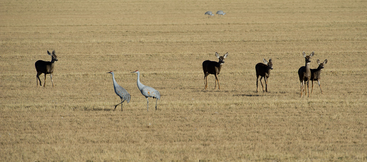 Sandhill cranes, Grus Canadensis & Snow geese, Chen caerulescens, at Bosque del Apache National Wildlife Refuge, New Mexico, in evening light.