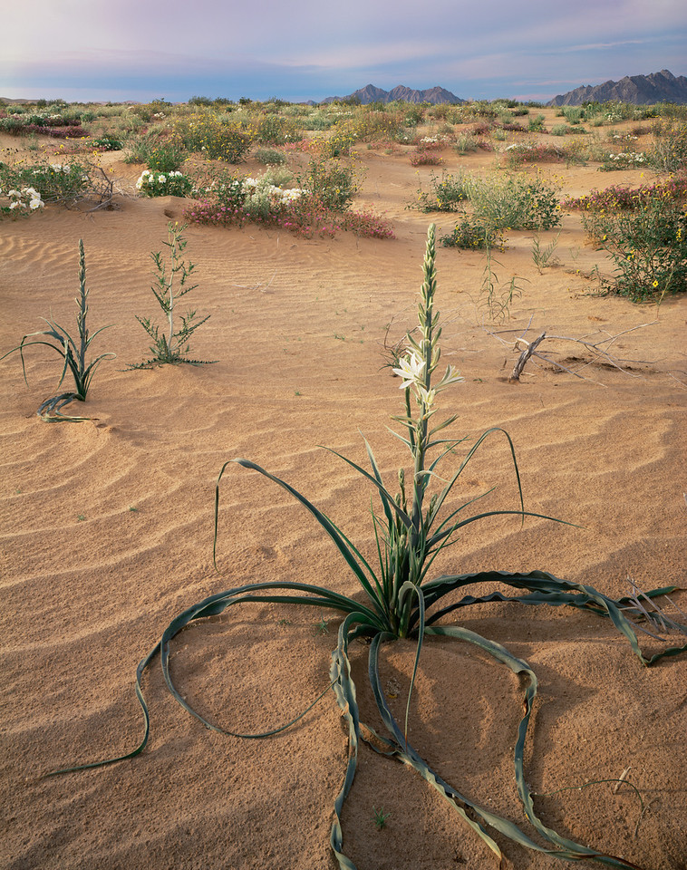 Biosphere Reserve of the, MEX/Pinacate & Gran Desierto Altar, Desert Lily (Hesperocallis undulata) Birdcage Evening Primrose (Oenothera deltoides) & Sand Verbena(Abronia villosa)2982V