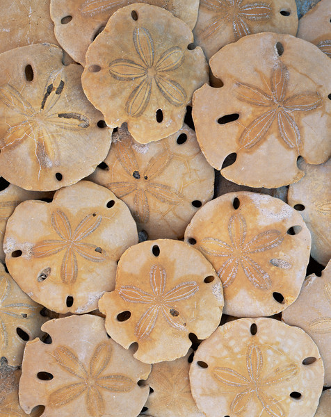 El Golfo Biosphere Reserve, MEX. / Fossilized sand dollars beneath the cliffs of Sonora, Mexico's Upper Gulf & Colorado Delta Biosphere Preserve.  82000V7