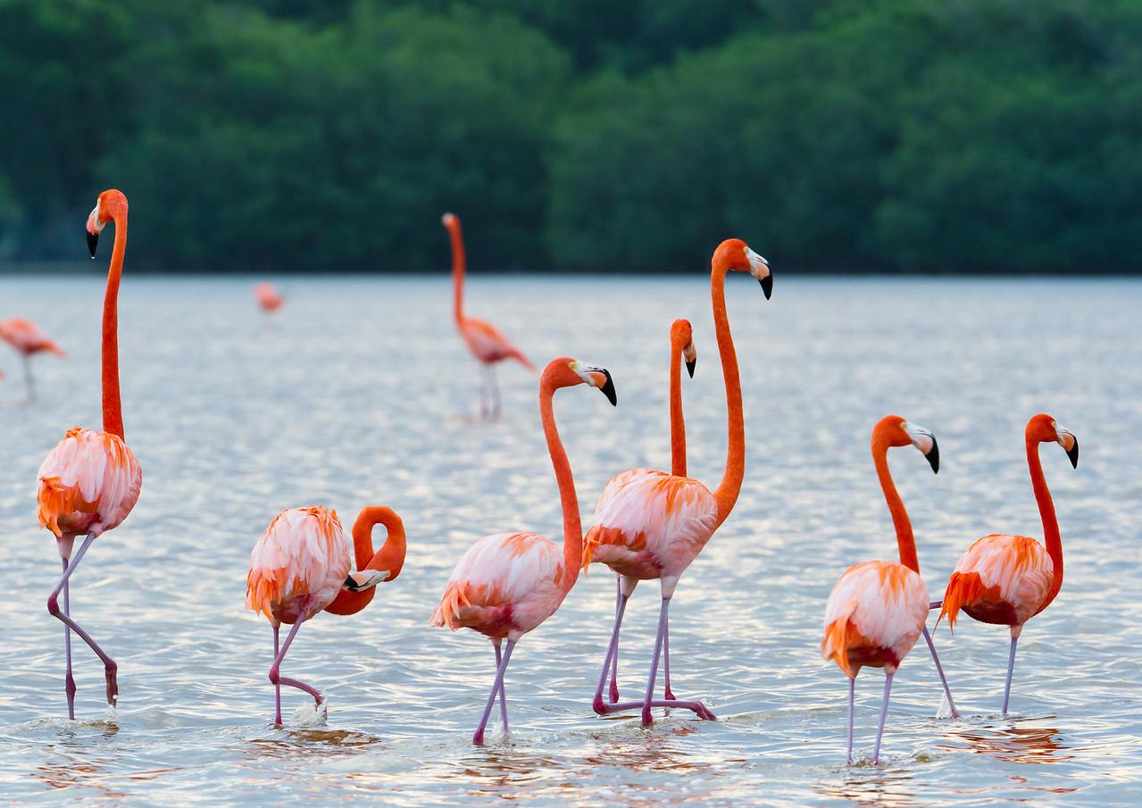 Greater flamingos in the Ria Celestun Biosphere Reserve, Yucatan state, Mexico