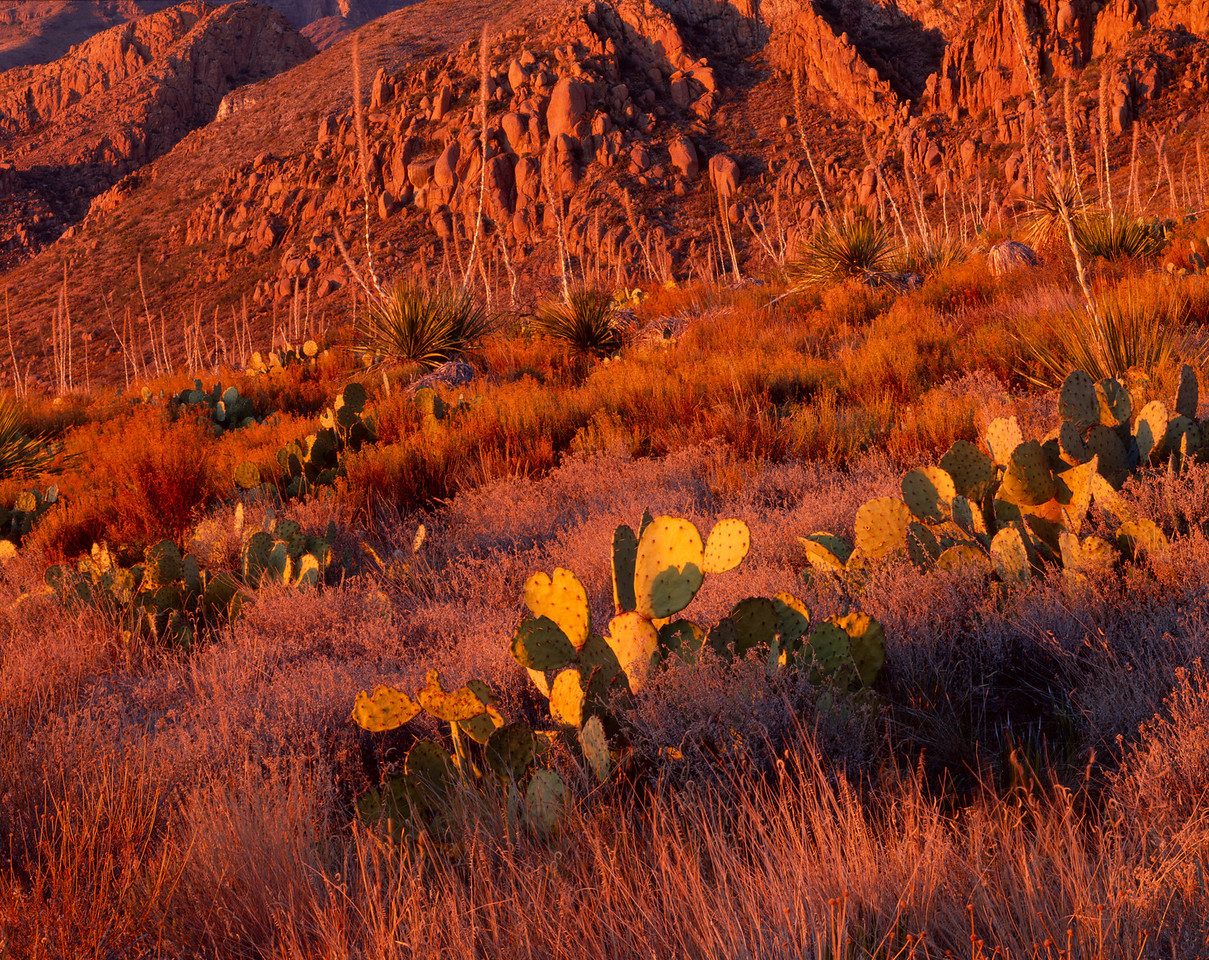 Sierra del Carmen, Coahuila, Mexico / Sunset light on boulders of Sierra del Carmen with prickly pear , Opuntia engelmannii & Sotol, Dasylirion leiophyllum in foreground. 1105H4