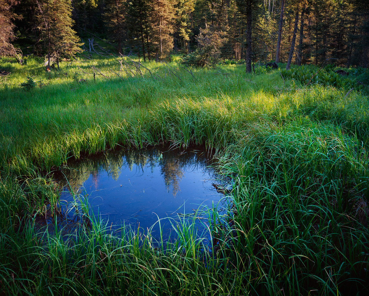 Elk wallow pond with dawn's light streaming across the sedges with spruce/fir forest in background, headwaters of Turkey Creek.