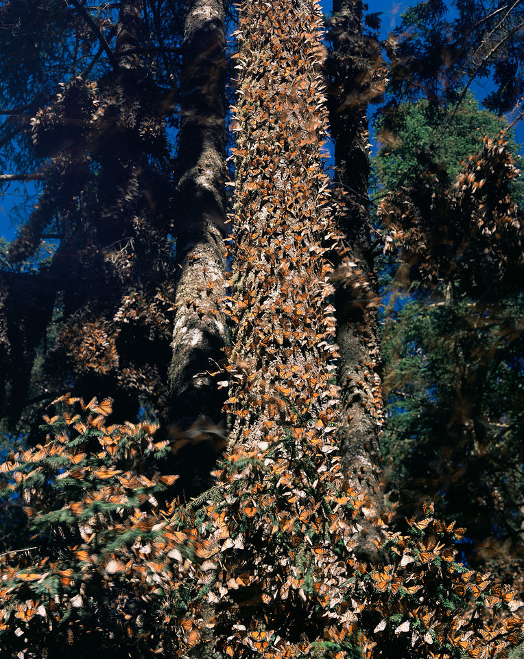 Monarch Butterfly Biosphere Reserve, Michoacan, Mexico / In the coniferous forests of the Sierra Chincua, the Monarch Butterfly, Danaus plexippus, winter in the forest, covering tree trunk. 122001V1