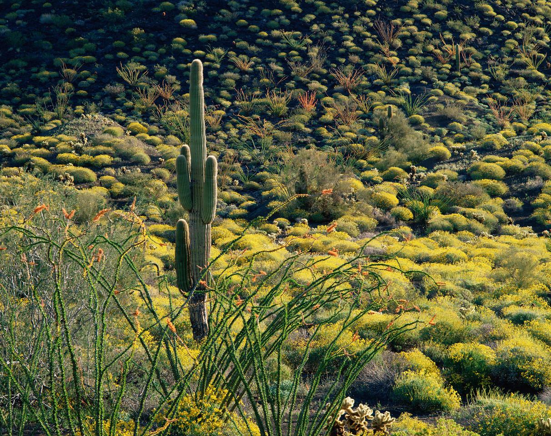 Sierra Pinacate, Carnege, MEX/Peak, Brittlebush (Encelia farinosa) Ocotillo (Fouquieria splendens) and lone Saguaro cactus (Carnegiea gigantea). 388h                           a