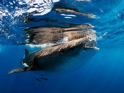 WhaleSharkJILL9276-2