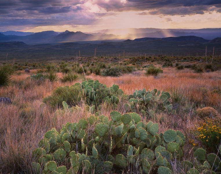 Coahuila, Mexico / Maderas del Carmen Natural Preserve.  Prickly Pear Cactus, Opuntia engelmannii, amid grasslands with sunset over distant ridges in Texas, USA. 1204H6