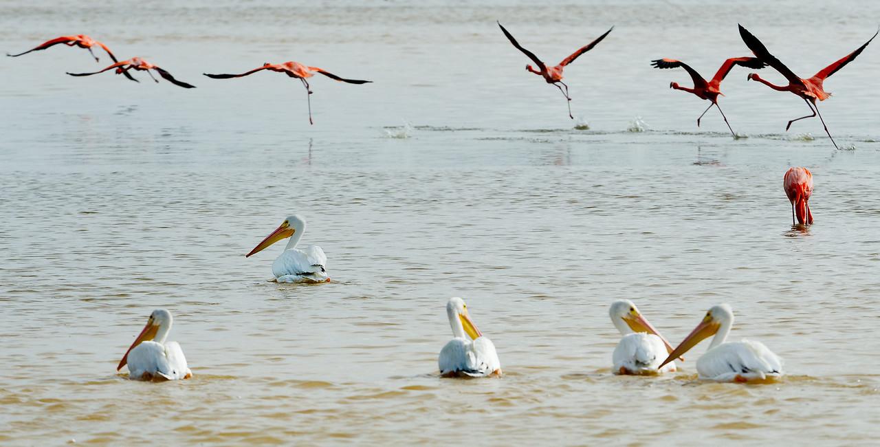 Greater flamingos & white pelicans in the Ria Celestun Biosphere Reserve, Yucatan state, Mexico