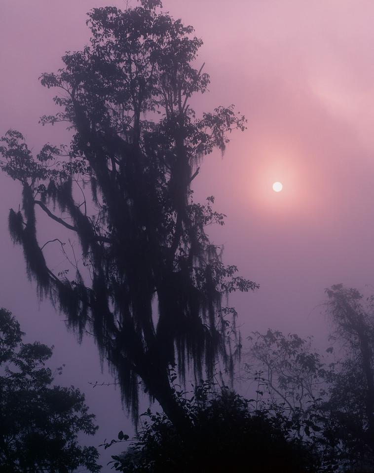 Tamaulipas, Mexico / El Cielo foothills, sunrise  filters through Spanish moss, Tillandsia usneoides, draped jungle canopy. 204V7