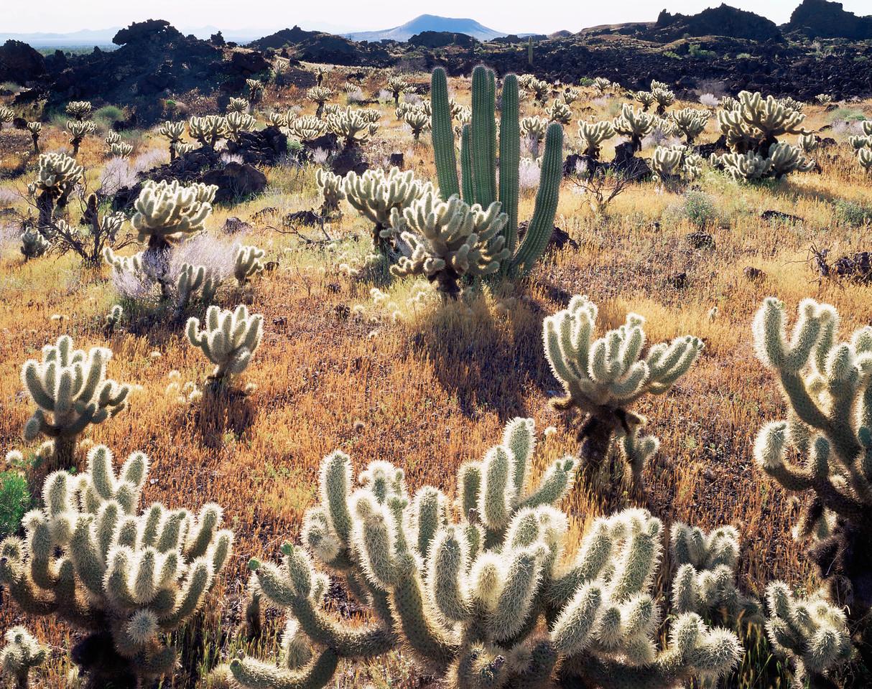Biosphere Reserve of the, MEX/Pinacate & Gran Desierto Altar, Mexico Teddy bear cholla (Opuntia bigelovii) volcanic lava flow,with Organpipe cactus (Stenocereus therberi.)395H1