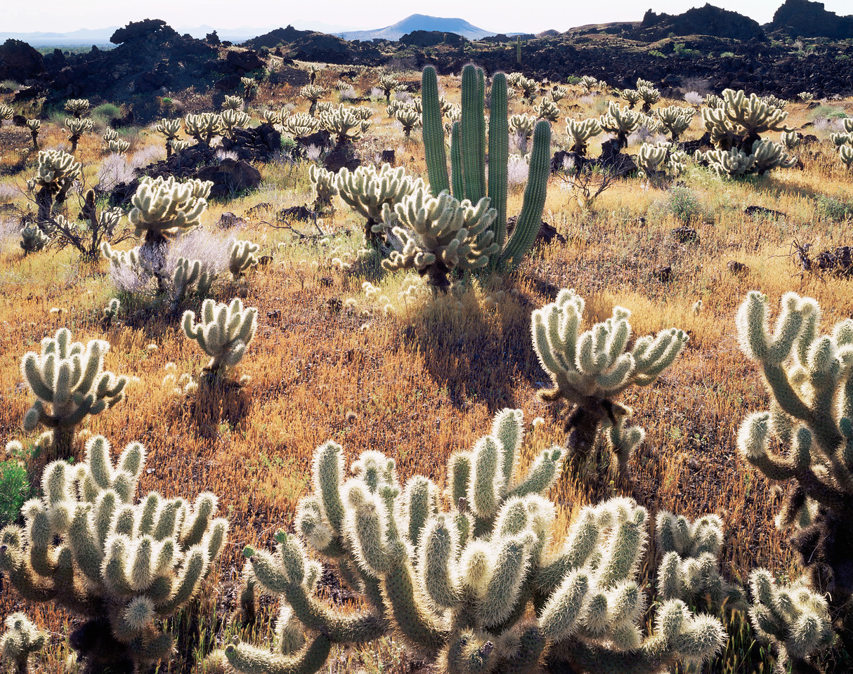 Biosphere Reserve of the, MEX/Pinacate & Gran Desierto Altar, Mexico Teddy bear cholla (Opuntia bigelovii) volcanic lava flow,with Organpipe cactus (Stenocereus therberi.)395H1