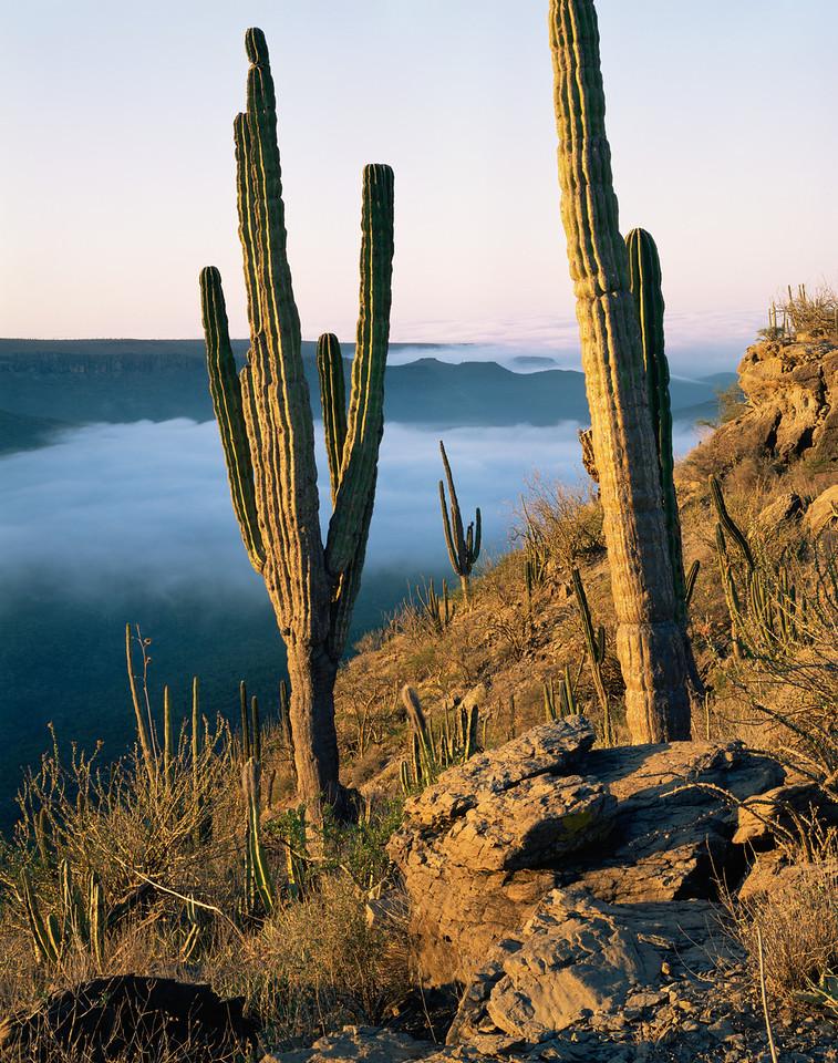 Baja Sur,Sierra Agua, MEX/Verde Cardon cactus @ sunrise above Vizcaino Desert & Pacific fog.  10/88v xa