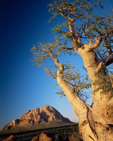 Baja California Sur,, MEX/Vizcaino Desert. Sunset light on Pico el Gato and a type of elephant tree a Torote (Pachycormus discolor). 295V9